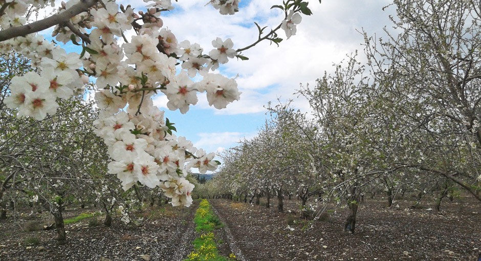Almond orchards